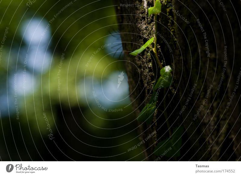 Nachtschattengewächs Natur alt Pflanze grün Baum ruhig Park Zufriedenheit Klima Grünpflanze Spinne Frühlingsgefühle Wildpflanze bescheiden