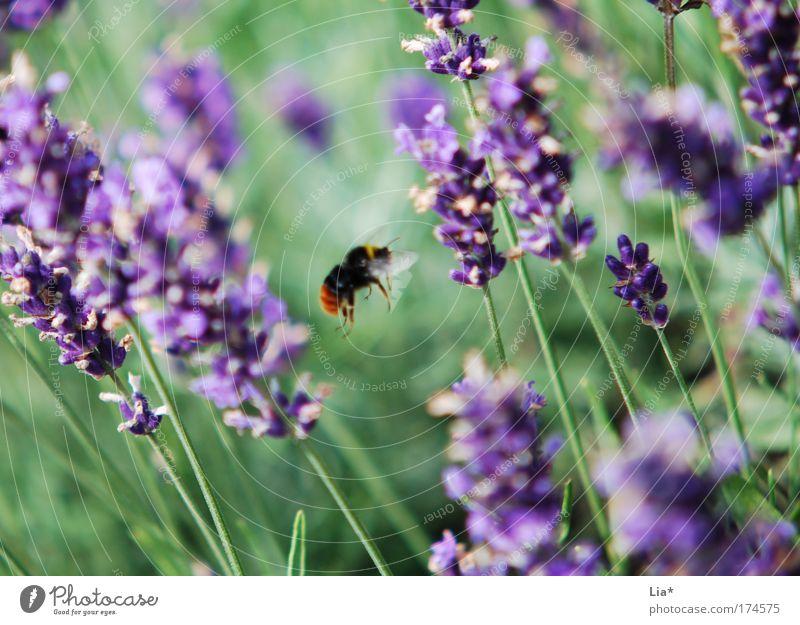 Ausflug Pflanze grün Tier Bewegung fliegen violett Insekt Biene Leichtigkeit Orientierung Lavendel Heilpflanzen Hummel