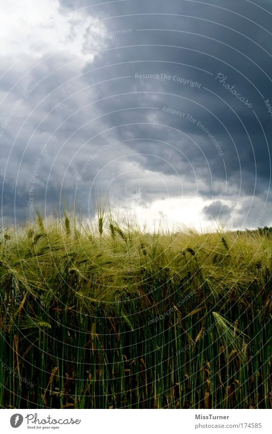 Gewitter über dem Kornfeld Natur grün blau Pflanze schwarz Wolken dunkel Landschaft Feld Angst Umwelt bedrohlich Wut Unwetter Kornfeld Gewitterwolken