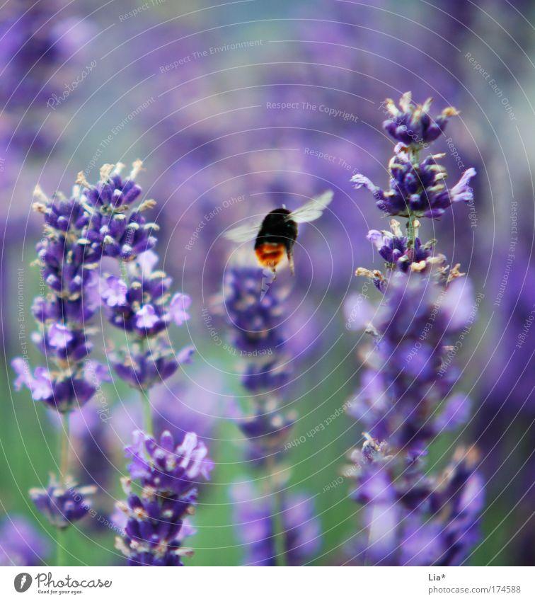 Ssssssssssuuummmmm Farbfoto Detailaufnahme Makroaufnahme Pflanze Lavendel Lavendelfeld Biene Hummel Wildbiene Insekt fliegen grün violett Luftverkehr Duft