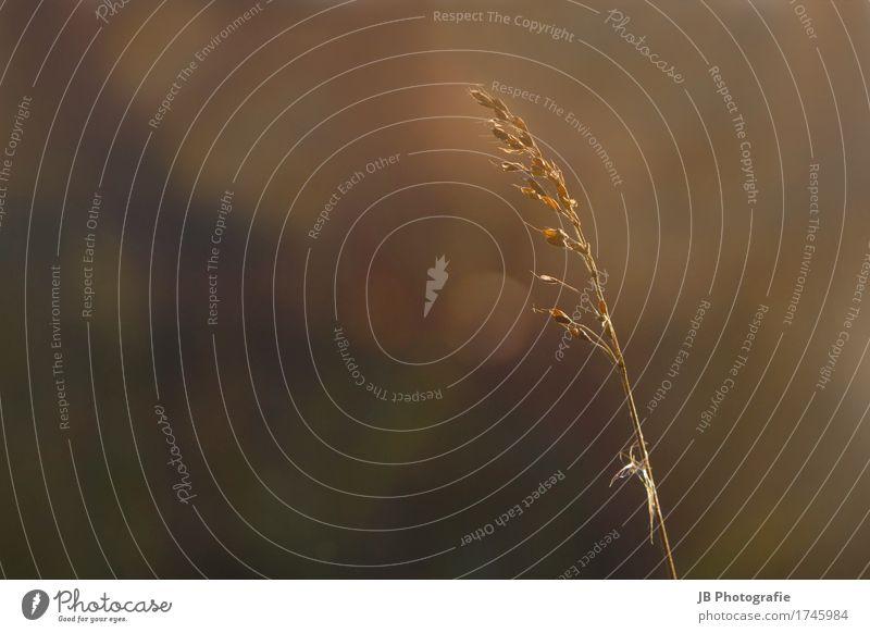 Sommerrückkehr Natur Landschaft Sonnenaufgang Sonnenuntergang Sonnenlicht Schönes Wetter Pflanze Feld Dorf Kitsch gelb gold Stimmung Erholung Kornfeld Ruhe