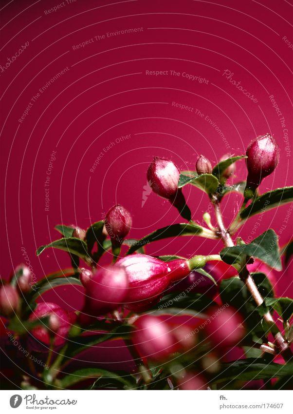 Funky Fuchsia Pflanze Blume Blüte Topfpflanze Fuchsienblüten Blühend ästhetisch außergewöhnlich exotisch glänzend schön Kitsch retro grün rosa rot Kraft ruhig