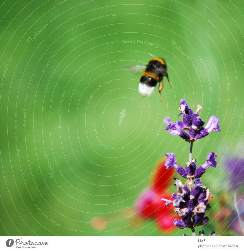 Nächster Halt: Lavendel Pflanze Frühling fliegen violett Kräuter & Gewürze Insekt Biene Hummel Heilpflanzen