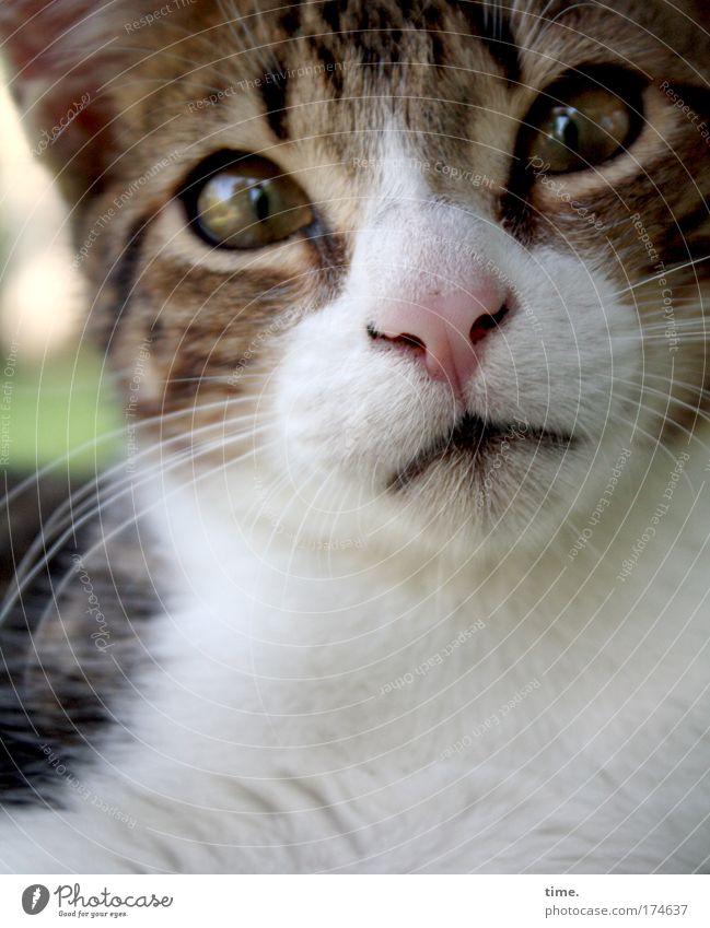 Jambon, Einschmeichler schön Tier Auge Neugier Fell Bart frech Katze gestreift Schnauze Hauskatze Dieb Tigerfellmuster Krimineller Raubkatze