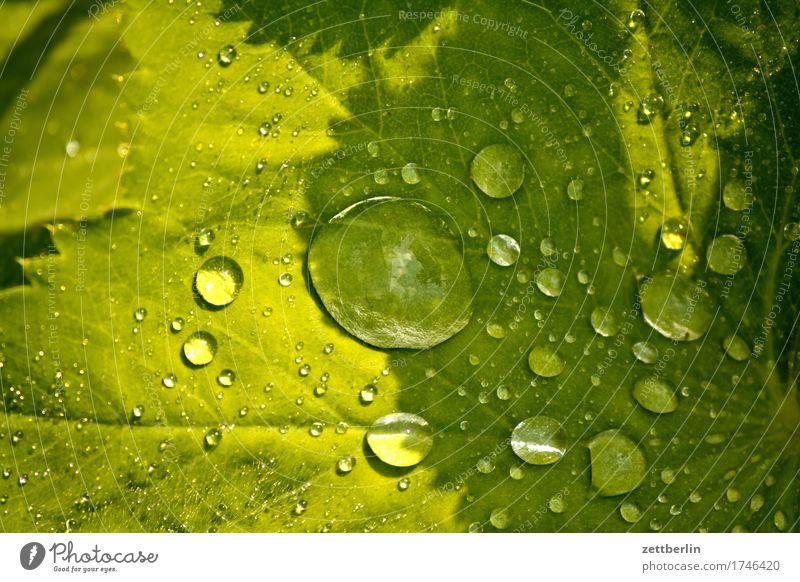 Alchemilla vulgaris Natur Pflanze Sommer grün Wasser Sonne Blume Erholung Blatt ruhig Blüte Wiese Hintergrundbild Gras Garten Regen