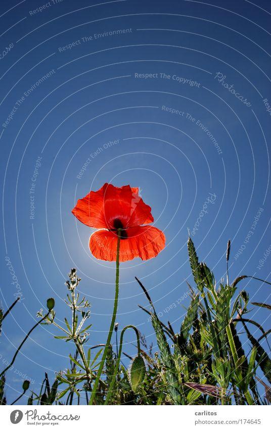 Mohnika Himmel blau grün Sommer rot Blüte Blühend Schönes Wetter Mohn Getreidefeld