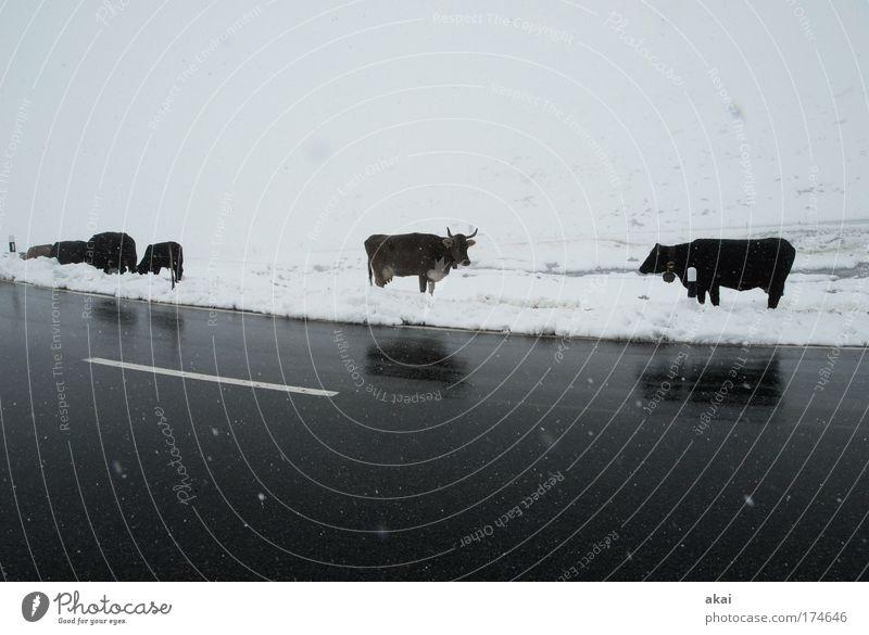 Kein Gras heute Wasser Sommer Wolken Winter Landschaft Wiese Straße kalt Berge u. Gebirge Schnee grau Schneefall Klima Ernährung Tiergruppe Alpen