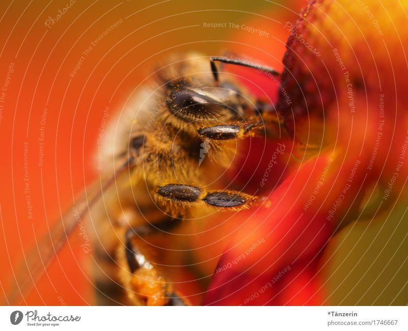 summsumm rot Tier natürlich braun ästhetisch Biene Nutztier