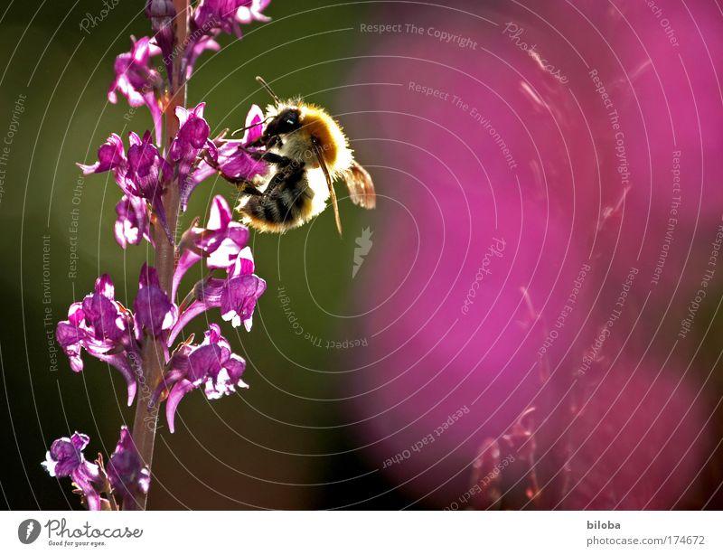 Schweizer Bienenhonig Natur grün rot Sommer Ernährung Tier Wiese Garten Park Landschaft rosa violett Bioprodukte Honig fleißig