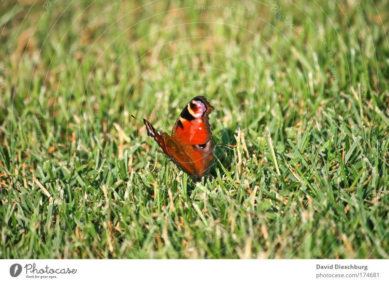 Komischer Rasenmäher Farbfoto Außenaufnahme Tag Kontrast Natur Frühling Sommer Pflanze Gras Wiese Tier Wildtier Schmetterling Flügel 1 grün rot Tagpfauenauge