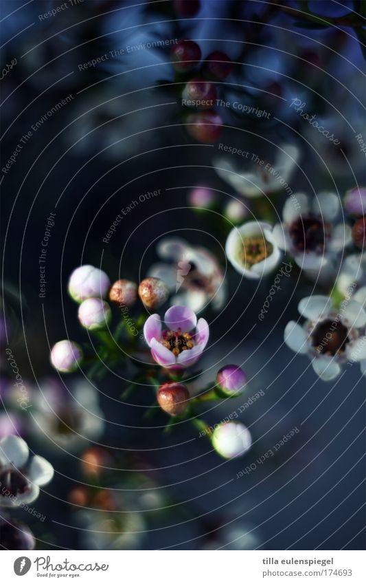 wax Farbfoto Innenaufnahme Menschenleer Unschärfe Pflanze Sommer Blume Blüte Blumenstrauß Duft schön blau Farbe Natur wachsblumen