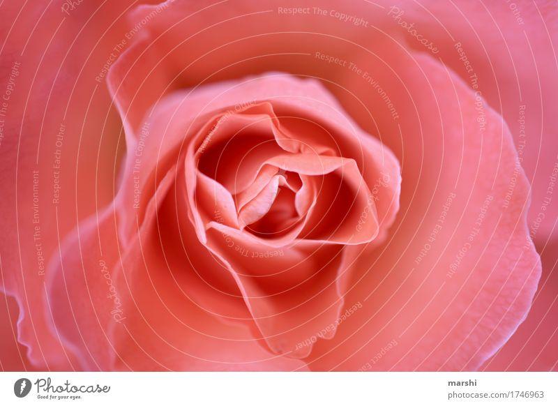 Rose Blume Blüte Blütenblatt zart rosa weich Garten Unschärfe Pflanze Perspektive Duft schön Geschenk Liebe Valentinstag Muttertag Geburtstag