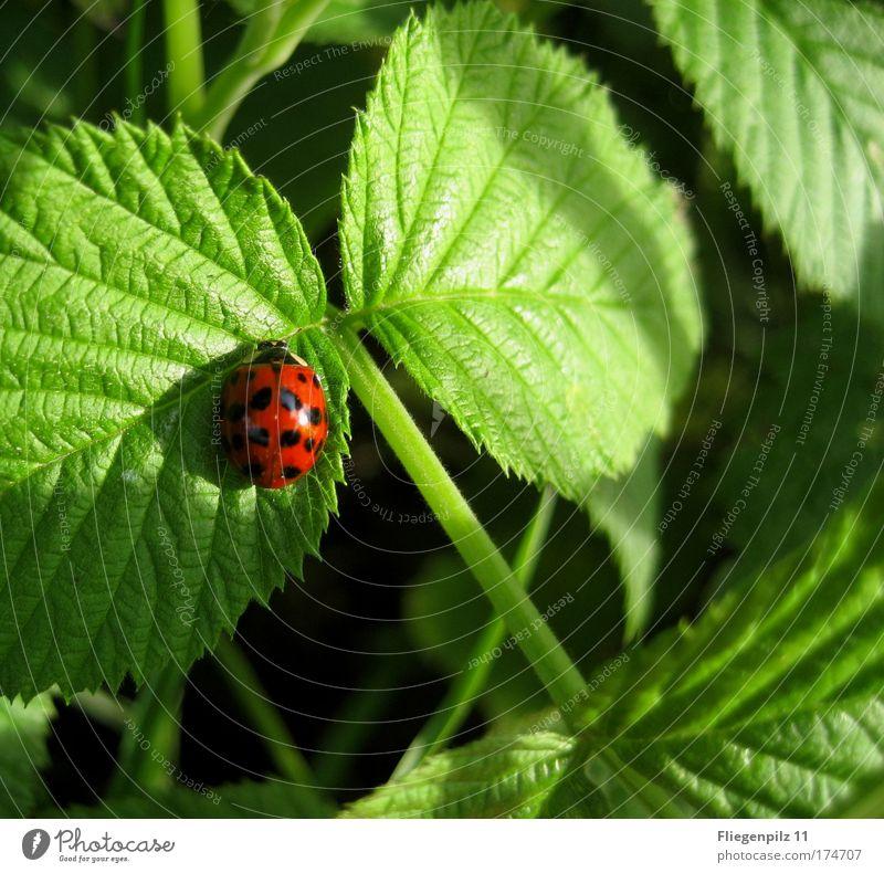 sonniger Platz Natur grün schön rot Pflanze Sommer ruhig Blatt schwarz Tier Glück hell Zufriedenheit Warmherzigkeit Marienkäfer Schönes Wetter