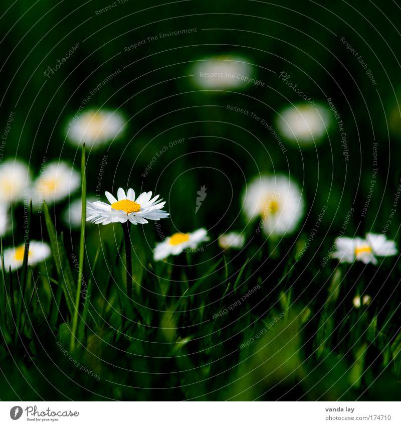 Daisy Farbfoto mehrfarbig Außenaufnahme Menschenleer Textfreiraum oben Unschärfe Schwache Tiefenschärfe Umwelt Natur Pflanze Blume Wildpflanze unschuldig Wiese
