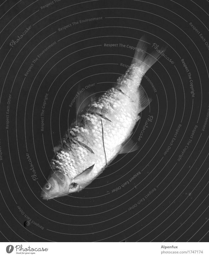 \\\ Fluss Tier Totes Tier Fisch 1 Schwimmen & Baden Traurigkeit Trauer Tod Liebeskummer Schmerz Ekel Misserfolg Zerstörung Schwarzweißfoto Außenaufnahme