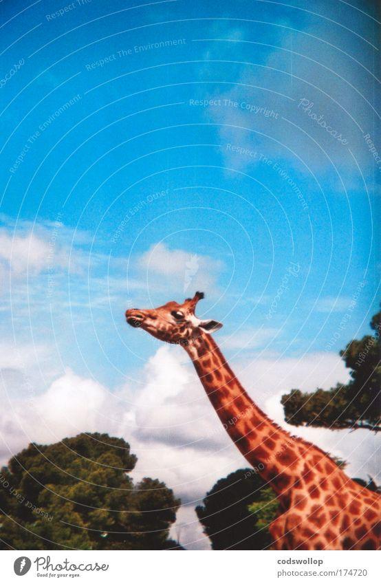 luftraumaufklärungsradargerät Natur Tier groß Afrika beobachten Neugier Wildtier Hals Safari Giraffe Holga