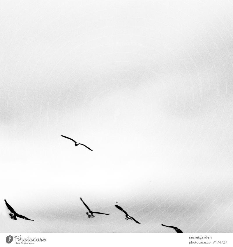 [KI09.1] vögeln. weiß Wolken schwarz Tier dunkel oben Bewegung Luft klein Vogel Wetter Zusammensein elegant fliegen frei ästhetisch