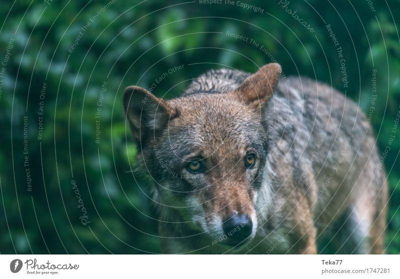 Wolf #2 Stil Umwelt Natur Landschaft Pflanze Tier Wildtier Tiergesicht Zoo 1 Gefühle Kraft Farbfoto Außenaufnahme Menschenleer Dämmerung Tierporträt