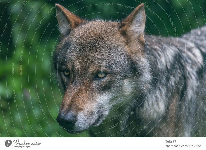 Wolf #1 Stil Umwelt Natur Landschaft Pflanze Tier Wildtier Tiergesicht Zoo Gefühle Kraft Farbfoto Außenaufnahme Menschenleer Tierporträt