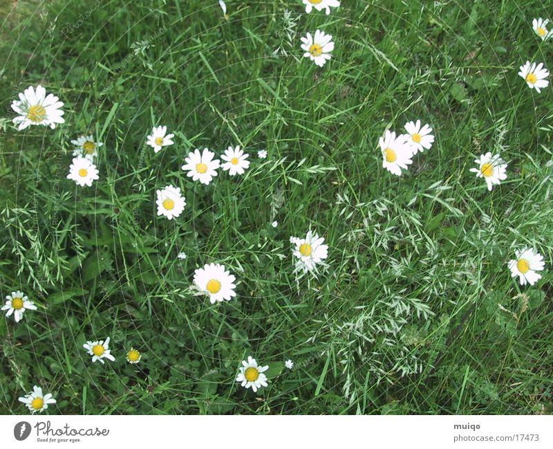 idyllische Wiese Blume Gras