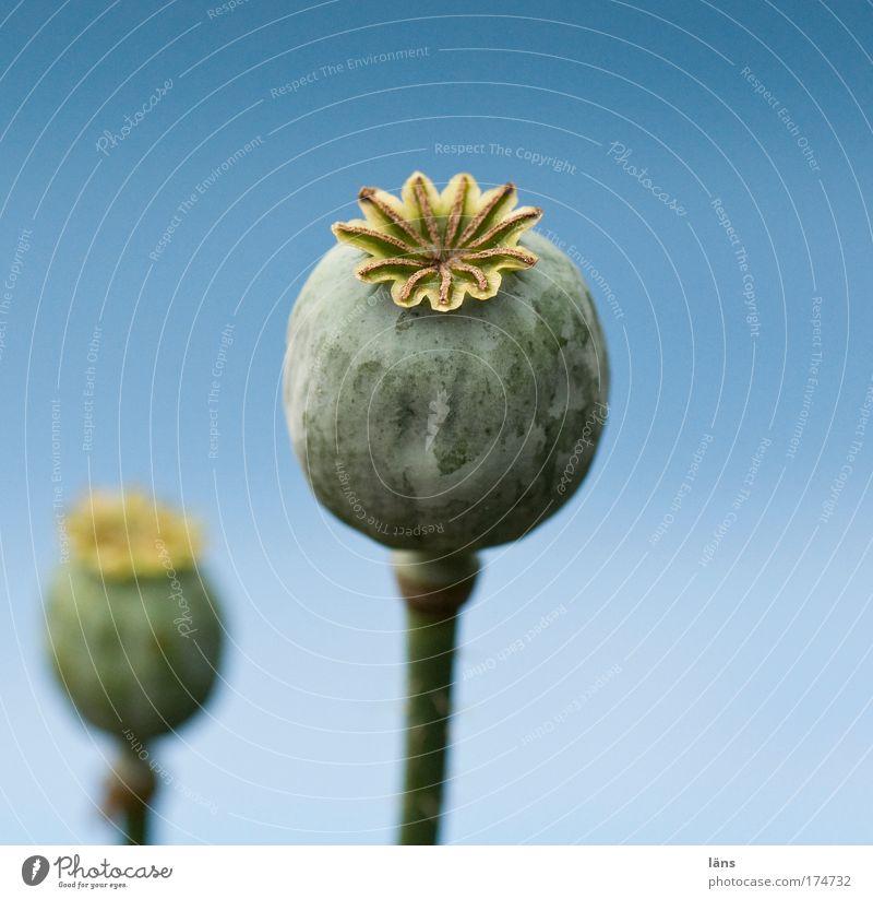 das dicke ende Natur blau Pflanze Sommer Stengel Mohn verblüht himmelblau Wildpflanze Mohnkapsel