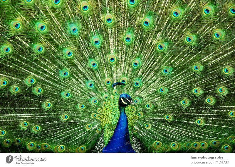 All eyes on you blau grün schön Tier Auge Vogel Gefühle glänzend elegant Muster Feder beobachten Kitsch Tierporträt Zoo