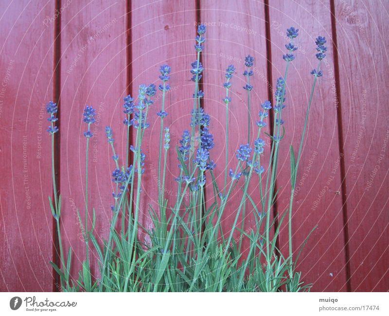 Lila Blüten Lavendel Rotes Holz Kastanienrot Heilpflanzen