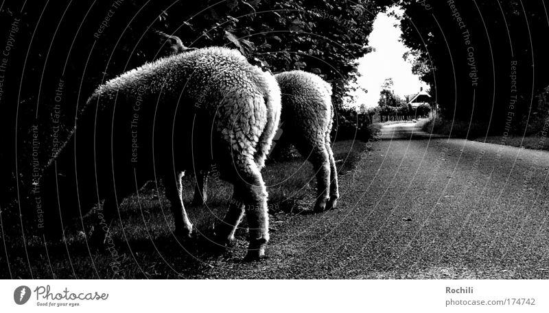 Streetphotography (auf Abwegen) Natur weiß Baum Sommer schwarz Ernährung Tier Straße Wiese Gras träumen Wege & Pfade Landschaft Straßenverkehr verrückt nah