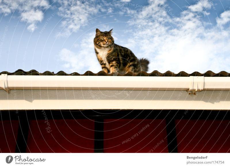 Katze auf dem heißen Blechdach Luft Himmel Wolken Wellblechhütte Dach Dachrinne Tier Haustier Tiergesicht Fell 1 beobachten Blick Farbfoto Gedeckte Farben