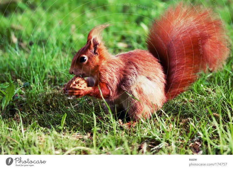 Fingerfood Nuss Walnuss Umwelt Natur Pflanze Tier Gras Wiese Fell Wildtier Eichhörnchen 1 Fressen füttern niedlich schön grün rot Tierliebe Nagetiere sitzen