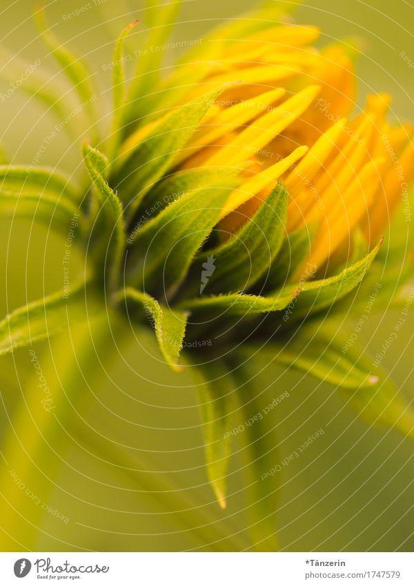 Sommerblume Natur Pflanze Sonnenlicht Schönes Wetter Blume Blüte Sonnenblume Garten ästhetisch natürlich schön gelb grün Farbfoto mehrfarbig Außenaufnahme