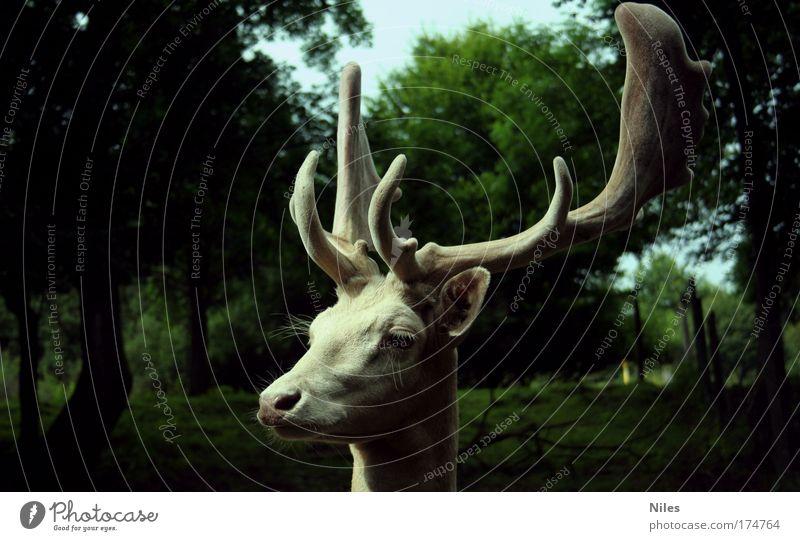 Hirsch in weiß Farbfoto Außenaufnahme Textfreiraum links Textfreiraum rechts Tag Schatten Zentralperspektive Wegsehen Umwelt Natur Tier Zoo 1 genießen kämpfen