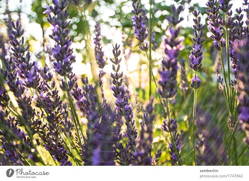 Lavendel Blume Blühend Blüte Ernte Garten Gras Schrebergarten Natur Frucht Sommer Sonne Gegenlicht Wachstum Kräuter & Gewürze Heilpflanzen Parfum Duft