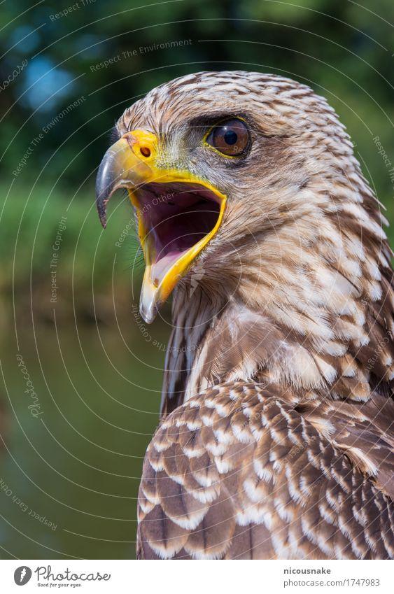 Gelbschnabeldrachen schön Freiheit Natur Tier Vogel dunkel frei natürlich wild blau braun gelb gold grün schwarz weiß Farbe Adler Mailand Bussard Harris