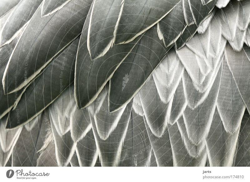 federvieh Tier Wärme Vogel elegant Schwarzweißfoto weich authentisch Feder Flügel natürlich Wildtier kuschlig