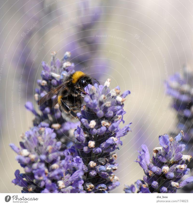 Pummel-Hummel Farbfoto Außenaufnahme Tag Tierporträt Natur Pflanze Sommer 1 fliegen Fressen verblüht violett Lavendel