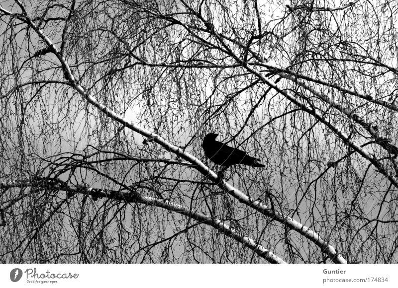 Der Botschafter Natur Himmel weiß Baum Pflanze schwarz Tier dunkel kalt Stimmung Vogel warten sitzen Flügel beobachten Ast