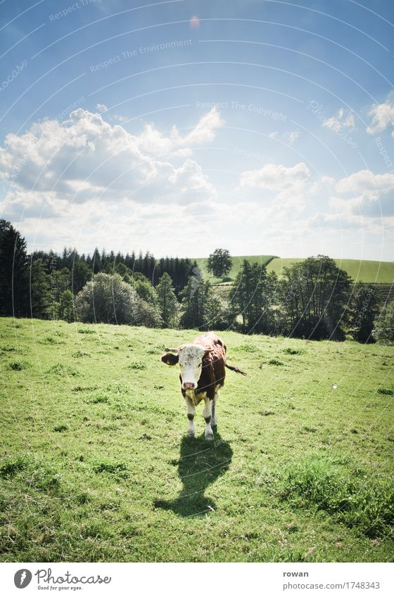muh Landwirtschaft Forstwirtschaft Landschaft Himmel Sommer Gras Wiese Tier Kuh stehen Wärme Milch Milchwirtschaft Konflikt & Streit Blick Berge u. Gebirge