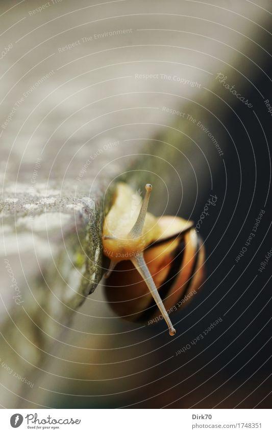 Am Abgrund. Klettern Bergsteigen Flechten Terrasse Garten Gartentisch Tischkante Tier Schnecke Hainbänderschnecke Gartenbänderschnecke Stielauge Weichtier