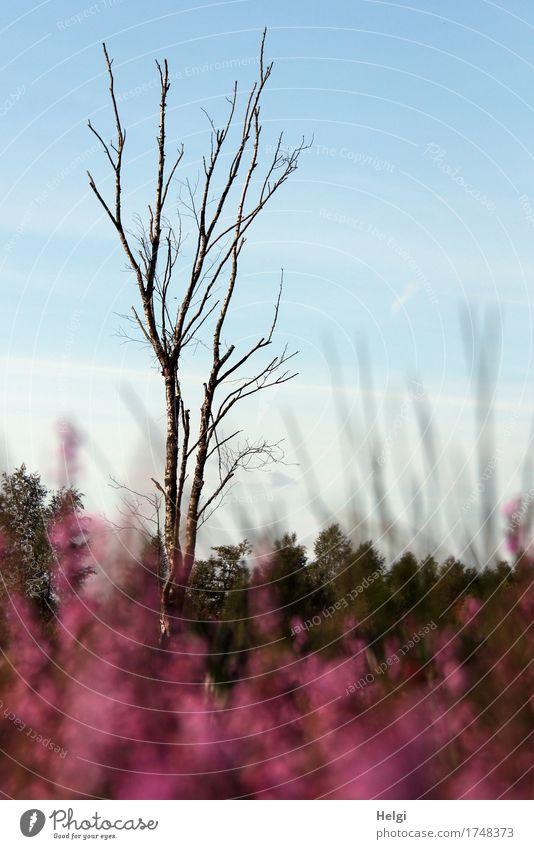im Moor... Umwelt Natur Landschaft Pflanze Himmel Sommer Schönes Wetter Baum Blume Blüte Wildpflanze Heidekrautgewächse Birke Sumpf Blühend dehydrieren Wachstum