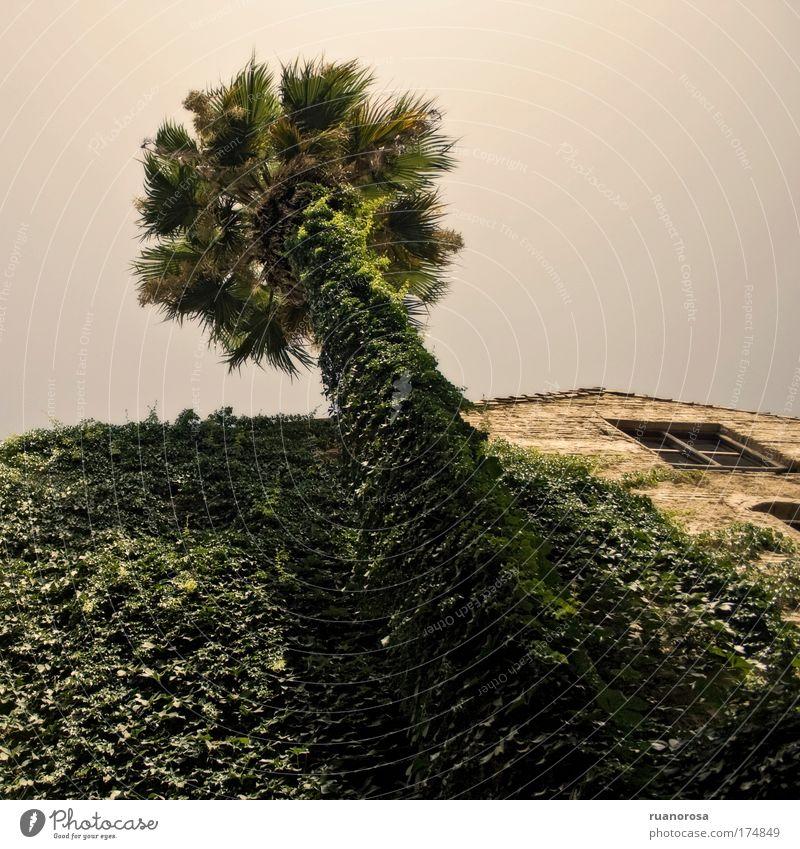 alt Himmel Baum grün Pflanze Haus Fenster Garten Palme Efeu Grünpflanze Wolkenloser Himmel Blattgrün