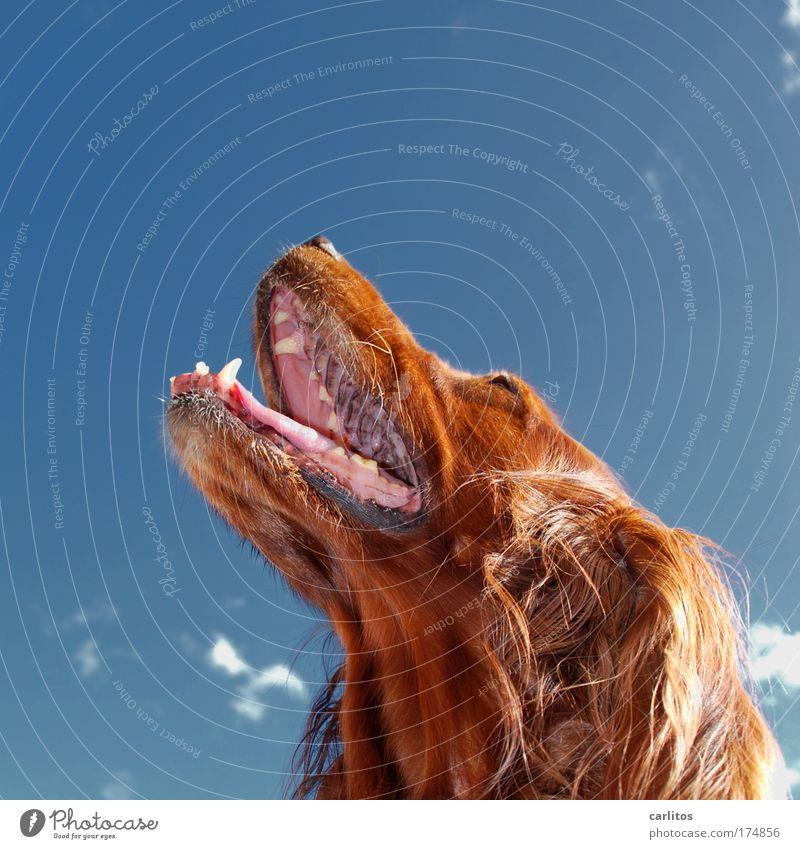 Ich trage Pelz Hund Irish Setter Fell Zähne Gebiss Schnauze Zunge atmen rotbraun langhaarig aufsehen Blick nach oben gehorsam aufmerksam Bewunderung warm heiß