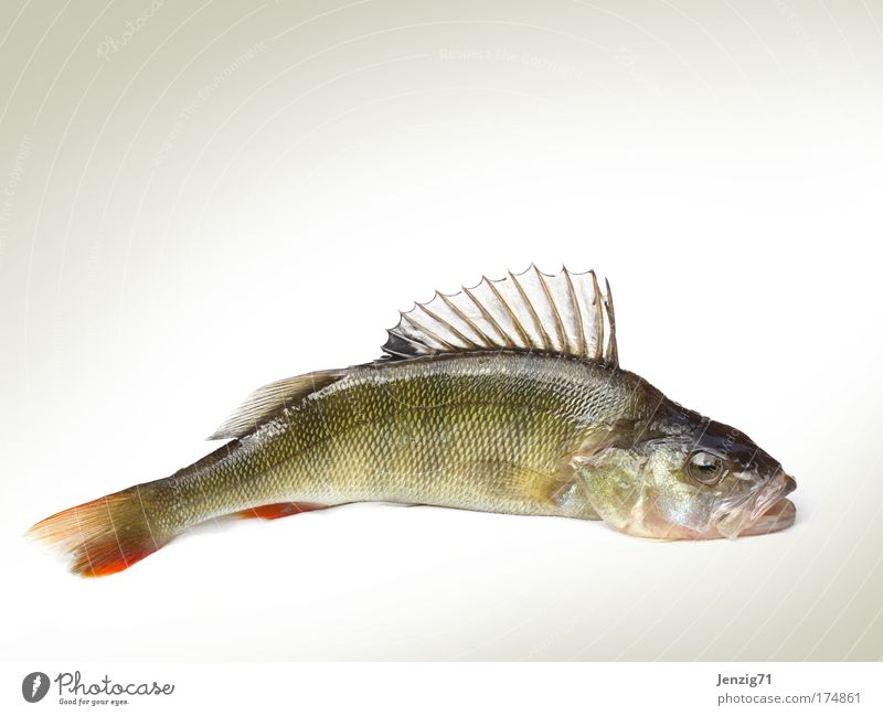 An Land gezogen. Farbfoto Studioaufnahme Textfreiraum oben Textfreiraum unten Freisteller Hintergrund neutral Tierporträt Profil Lebensmittel Fisch Angeln