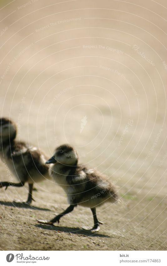 SYNCHRON-WATSCHELN Natur Tier Tierjunges Frühling See Beine Vogel Sand Zusammensein authentisch Feder laufen Flügel Schutz Zusammenhalt Bauernhof