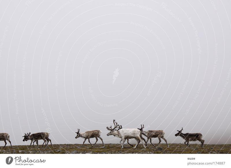 Rentiere im Nebel Natur Pflanze Landschaft Tier Umwelt grau braun Wildtier wandern laufen Tiergruppe Horn Norwegen Herde Hirsche