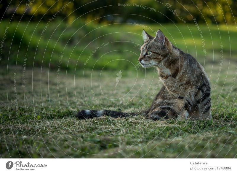 Da sehe ich doch was.. Katze Natur Sommer grün schön Tier schwarz gelb Wiese Gras braun sitzen beobachten Konzentration Haustier