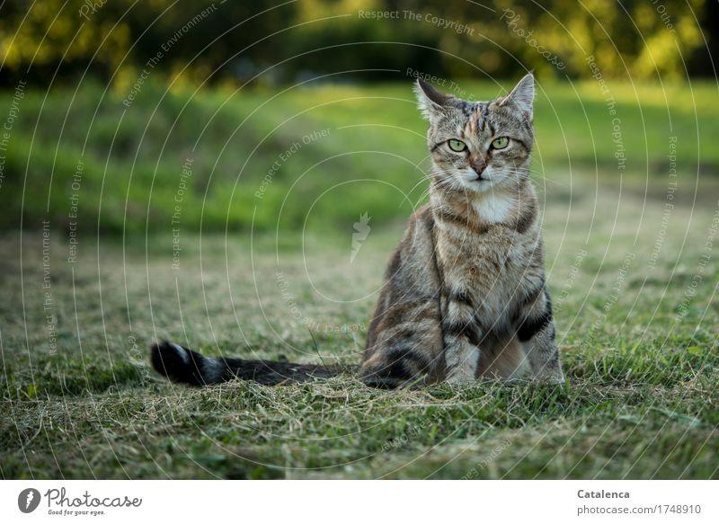 Gatubela Katze Natur grün schön Tier schwarz gelb Wiese Gras Freiheit braun sitzen beobachten Haustier unschuldig