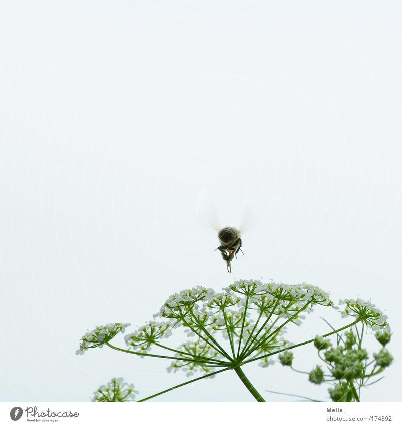 Fleißig Natur Himmel weiß Blume Pflanze Sommer Tier Arbeit & Erwerbstätigkeit Wiese Blüte Frühling grau Park Luft Feld klein