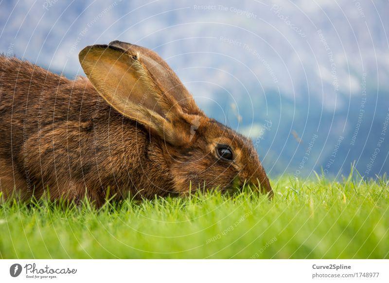 Hasel Natur Wiese Hügel Alpen Tier Haustier Wildtier Hase & Kaninchen 1 Essen liegen Blick braun Ohr Fell grün niedlich Hasenohren Fressen weich Südtirol Geruch