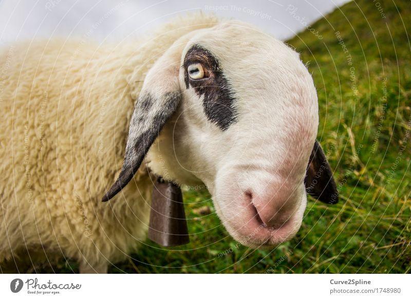 Määäh ihr Schafe ... Natur Tier Nutztier 1 Blick stehen Alm Südtirol weiß schwarz gefleckt Glocke lustig Schnauze Wiese Gras Berge u. Gebirge Porträt Wolle Fell